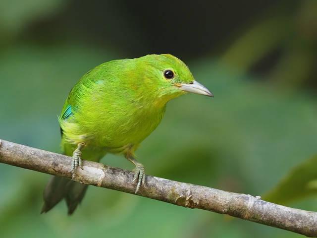 Trend Burung Cucak Ranti Blue Winged Leafbird