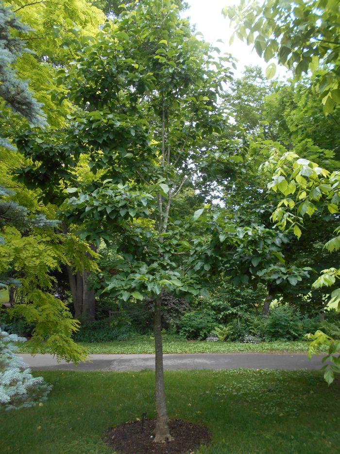 Future Plants By Randy Stewart Magnolias