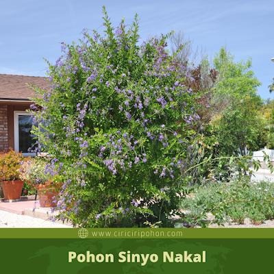 Ciri Ciri Pohon Sinyo Nakal
