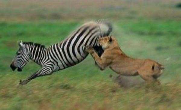 zebras and lions - photo #15