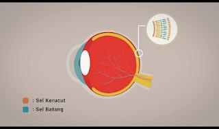 Sel Kerucut dan Sel Batang Pada Retina Mata, Retina Mata, Ilustrasi Gambar Retina Mata, Gambar Animasi Sel Kerucut dan Sel Batang di mata