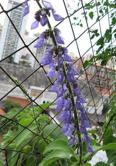 Coleus barbatus or Pashanabhedi plant