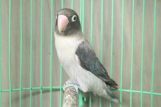 cara mencetak lovebird euwing blue