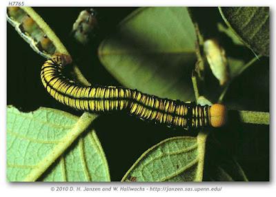 oruga de mariposa anteo