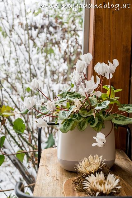 weißes Alpenveilchen im Wintergarten