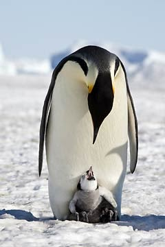 http://www.pawnation.com/2010/06/15/penguin-mama-and-baby-are-just-chillin/