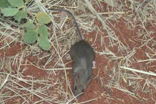 Desert Mouse Near Uluru.