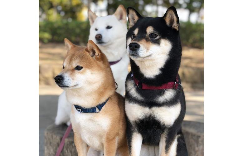 Small Husky Dog Breed