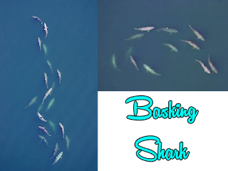 kumpulan segerombol ikan hiu
