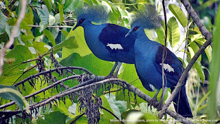 Western-crowned Pigeon (Goura cristata)