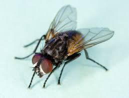 मक्खियाँ छत पर कैसे चलती हैं?