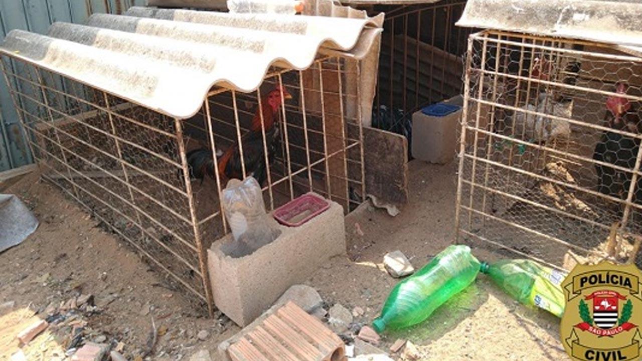 18 galos que sofriam maus-tratos e eram submetidos a rinhas são resgatados em Avaré