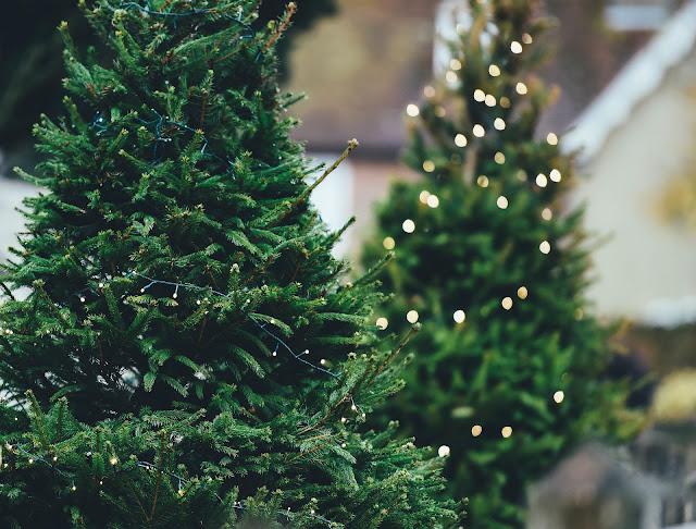 como cuidar de pinheiro de verdade no natal