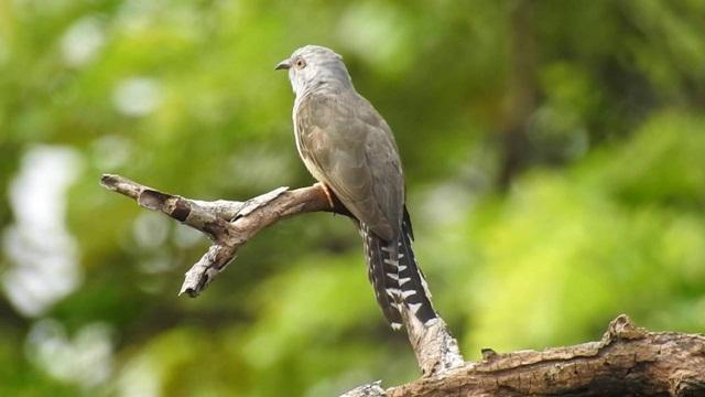 Mitos burung kedasih 2