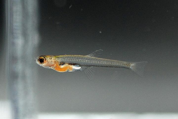 Apa Ikan yang Paling Kecil?