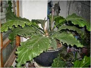 Anthurium plowmanii