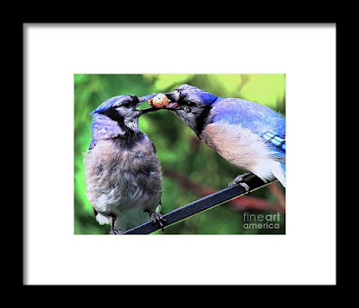 This is a screen shot of one of my framed images of Blue Jays which is available in different sizes via Fine Art America. https://fineartamerica.com/featured/blue-jays-wooing-2-patricia-youngquist.html