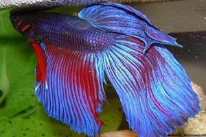 Ikan cupang siam