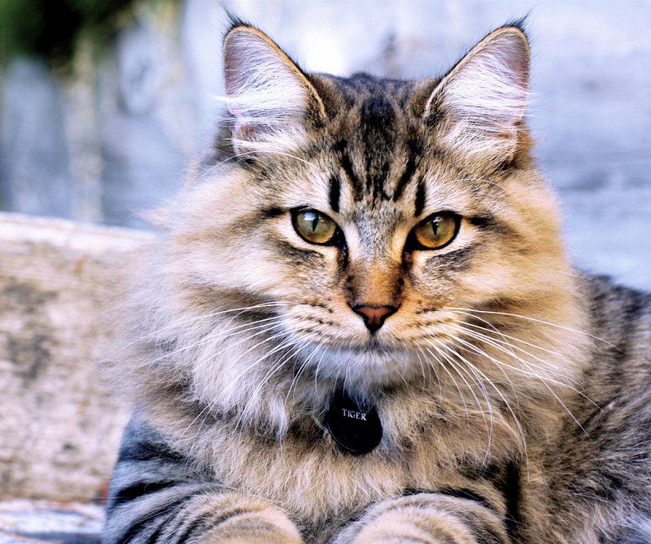 animais de Gato Bobtail Americano