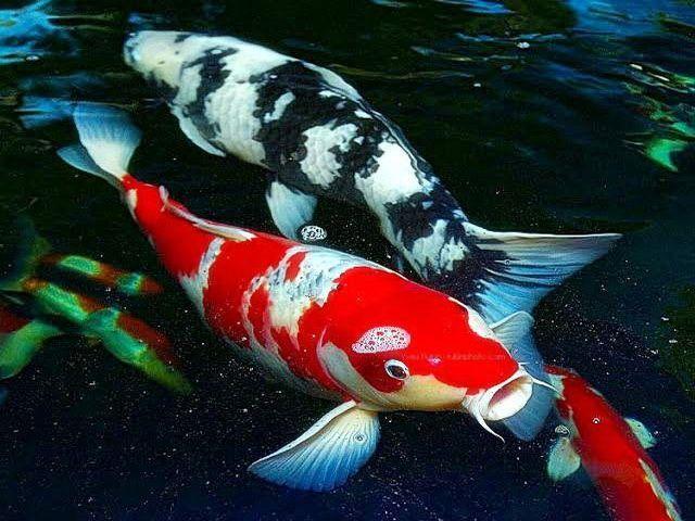 Gambar Ikan Mas Koi