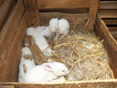 Ciri-Ciri Kelinci Hamil dan Cara Memelihara Kelinci Hamil