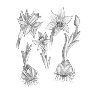 Daffodil pencil drawing