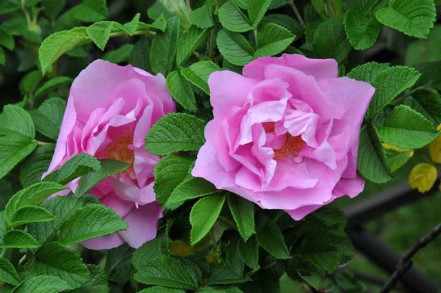 Buongiornolink - Curarsi con le rose
