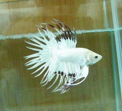 Platinum Crowntail
