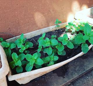 quarentena plantas