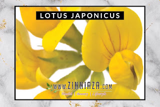LOTUS JOPANICUS YOUTH