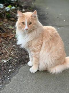 गोरी बिल्ली