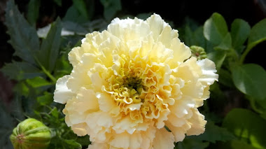 Tagetes erecta 'Sweet Cream'