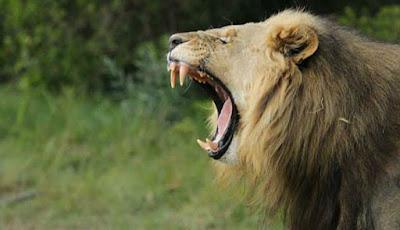 Singa jantan besar