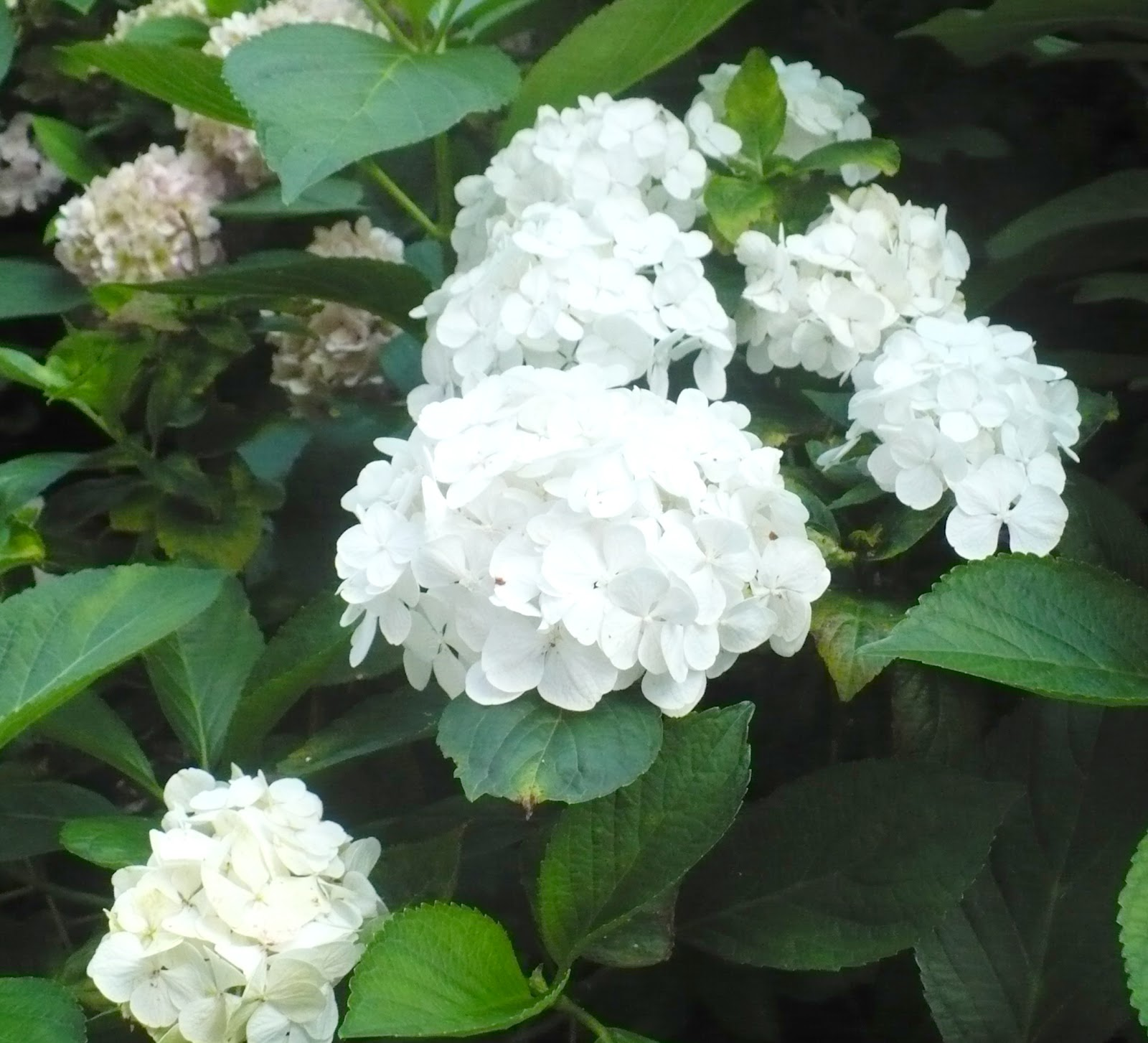 Hydrangea Hortensja