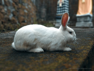 A White Rabbit Wandering The Yard Of The House At Tuka Village, Badung, Bali, Indonesia