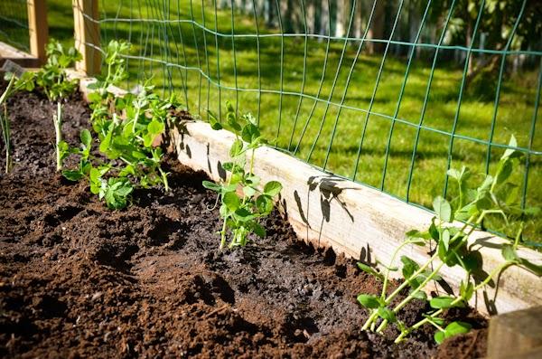 Cómo cultivar y conservar guisantes caseros