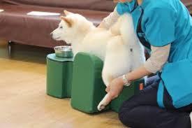massagem em cães com displasia