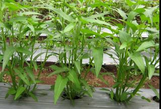 sayuran mahal cepat panen