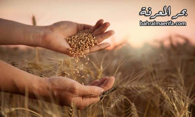 الحبوب المستنبتة