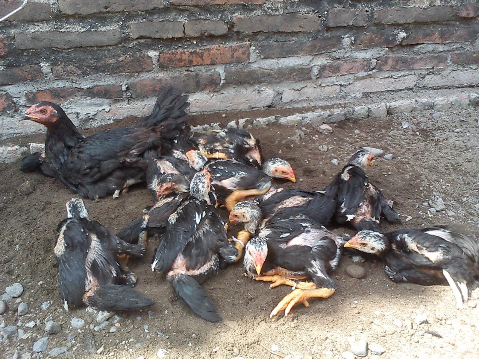 Tips Cara Mudah Memilih Induk Ayam Bangkok yang Baik dan ...