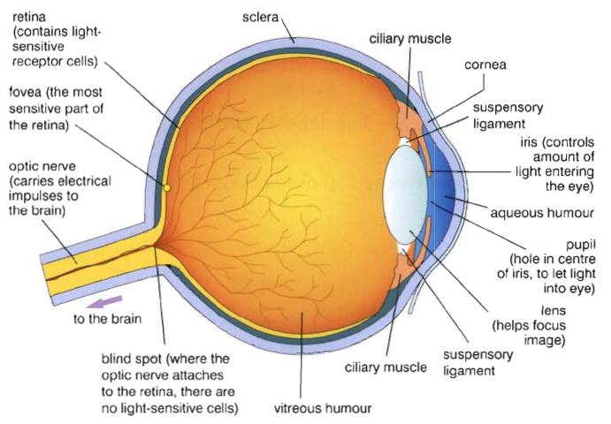 Frazer + Biology: 2.86 The Eye