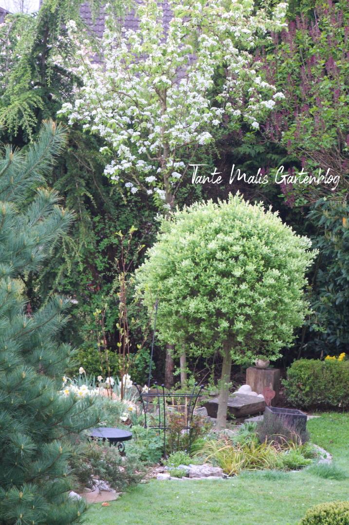 Blühende Birne und Salix integra