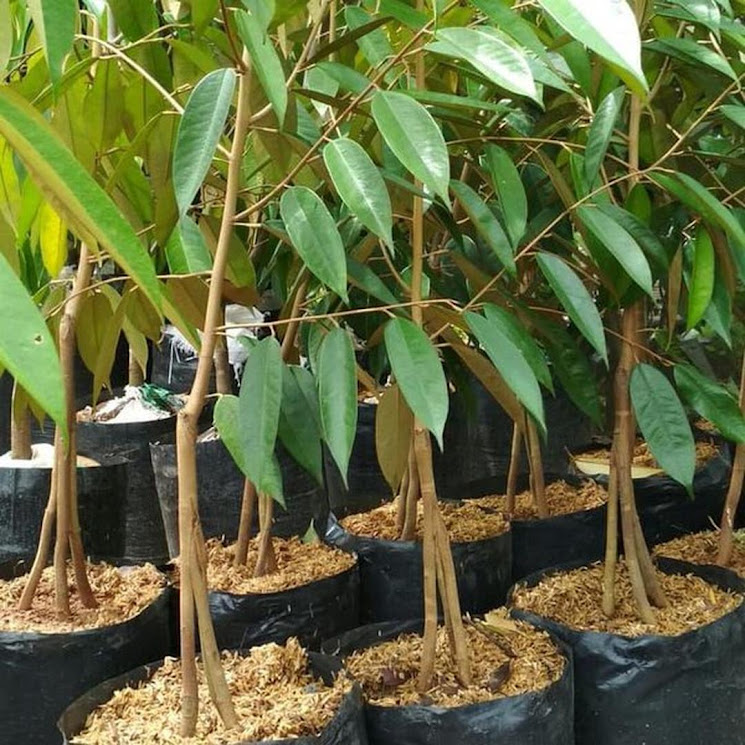 Bibit Tanaman Buah Durian Montong Kaki Tiga Cilegon