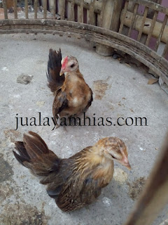 Ayam Serama Usia 2 Bulan