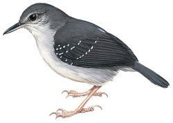 Yapacana Antbird