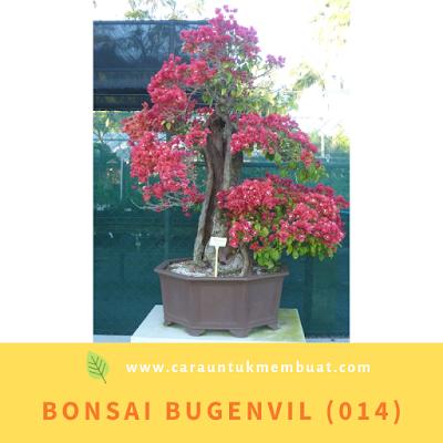Bonsai Bugenvil (014)