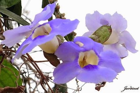 Azulzinha, trepadeira atrativa para beija-flores