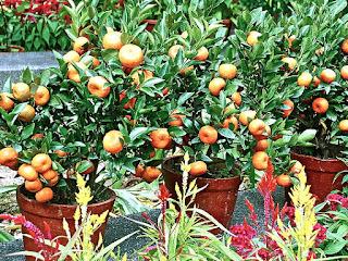 agar-jeruk-rajin berbuah