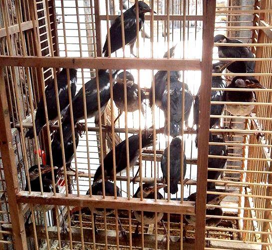 Meskipun termasuk jarang dijual dipasaran Tips Memilih Burung Jalak Suren Jantan Ombyokan