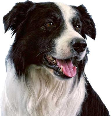 Jenis Anjing Penjaga Dominan Melindungi Properti dan Manusia yang dianggap Keluarga
